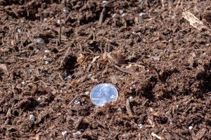 "420"" Planting Mix with 25 cent quarter for relative size comparison (close-up photo)."