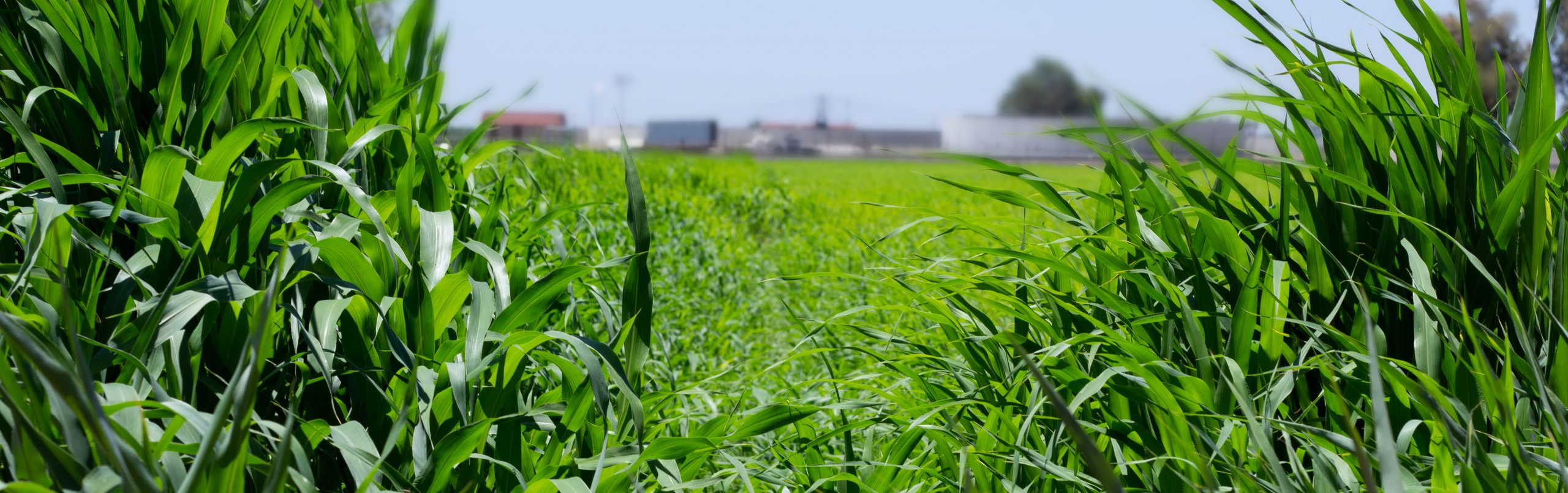 Ag Field Alfalfa