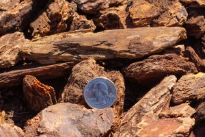 Medium decorative bark with 25 cent quarter for relative size comparison